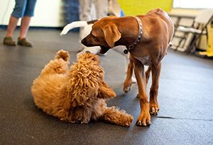 Dog Play Behavior: Are they fighting or playing? - Inquisitive Canine
