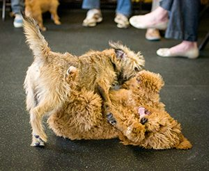 Dog Play Behavior: Are they fighting or playing