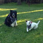 Paw-triotic pooches Cooper & MacKenzie enjoying play, while being kept safe by mom and dad!