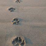 animal-tracks-in-sand