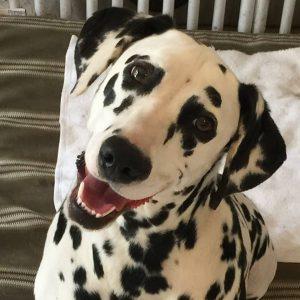 AcademyDog-Dalmatian