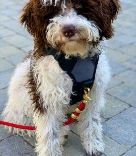 Inquisitive Canine Leash Walking Basil